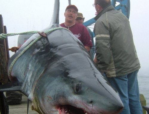 Great White Sharks in Tofino?  Yes and No.