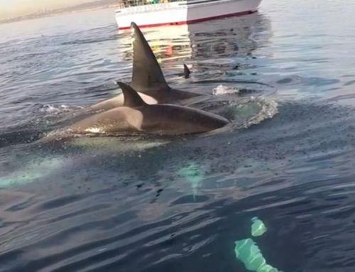Paddler's Intimate Orca Moment – Too Close?