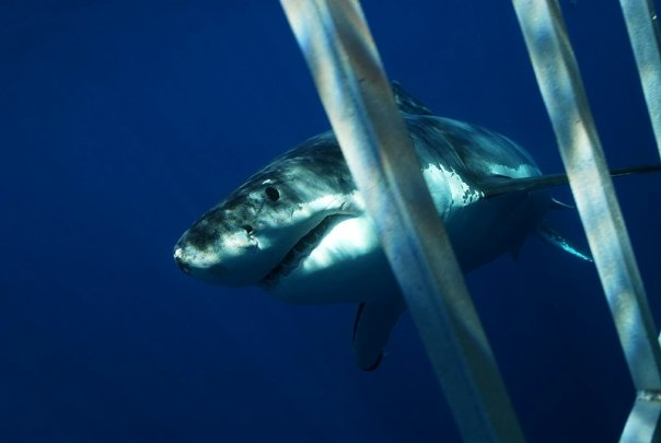 Image from sharkdiver.com