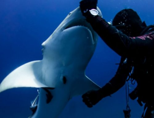 Diver Josh Eccles Helps Shark That Asks For It