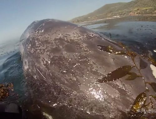 Watch This Awesome Gray Whale Encounter With a Paddleboarder