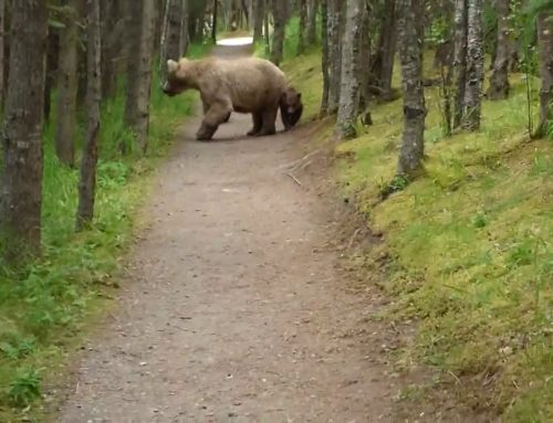 Grizzly Bear and Cubs Stalk Alaskan Hiker in Odd Video