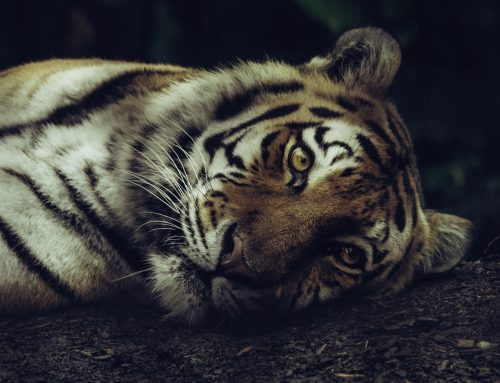 Why Are Tigers Endangered?