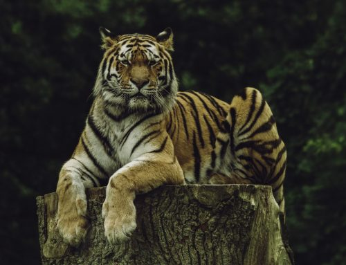 5 (EASY!) Ways You Can Help Save the Tiger