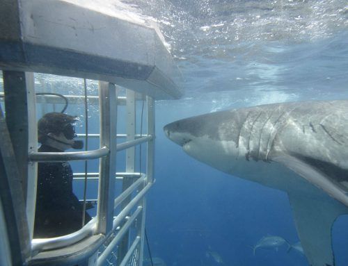 Port Lincoln Shark Diving: The Basics