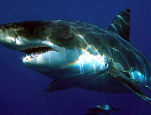 Can I Go Shark Diving in Los Angeles?